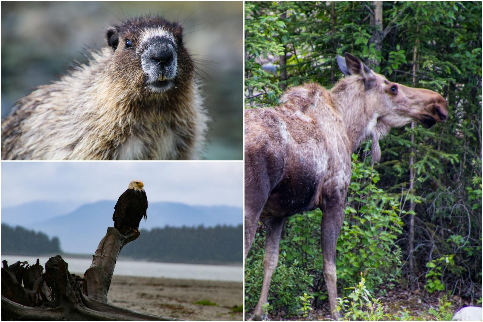 Wildlife seen during an Alaska float plane tour, including a marmot, eagle, and moose.