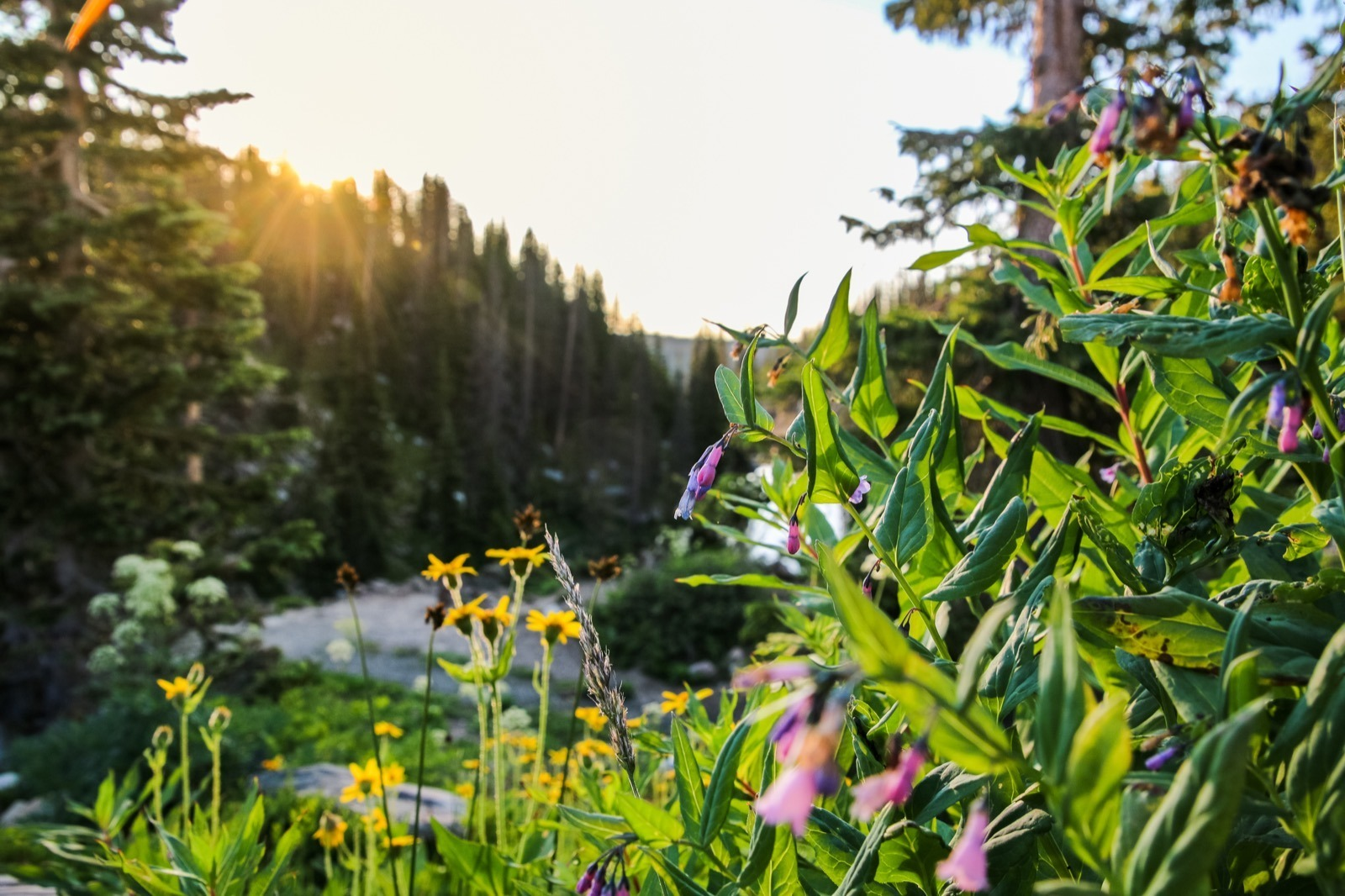 carbon-county-saratoga-wyoming-medicine-bow-national-forest-wildflowers