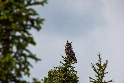 Owl seen in Alaska.