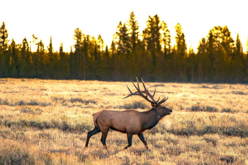 Elk walking through meadows in Yellowstone/Teton/Idaho area