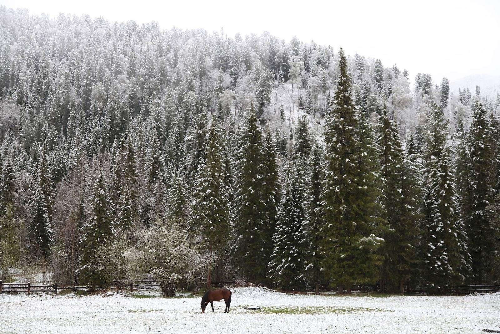 Horse grazing near Yellowstone in winter