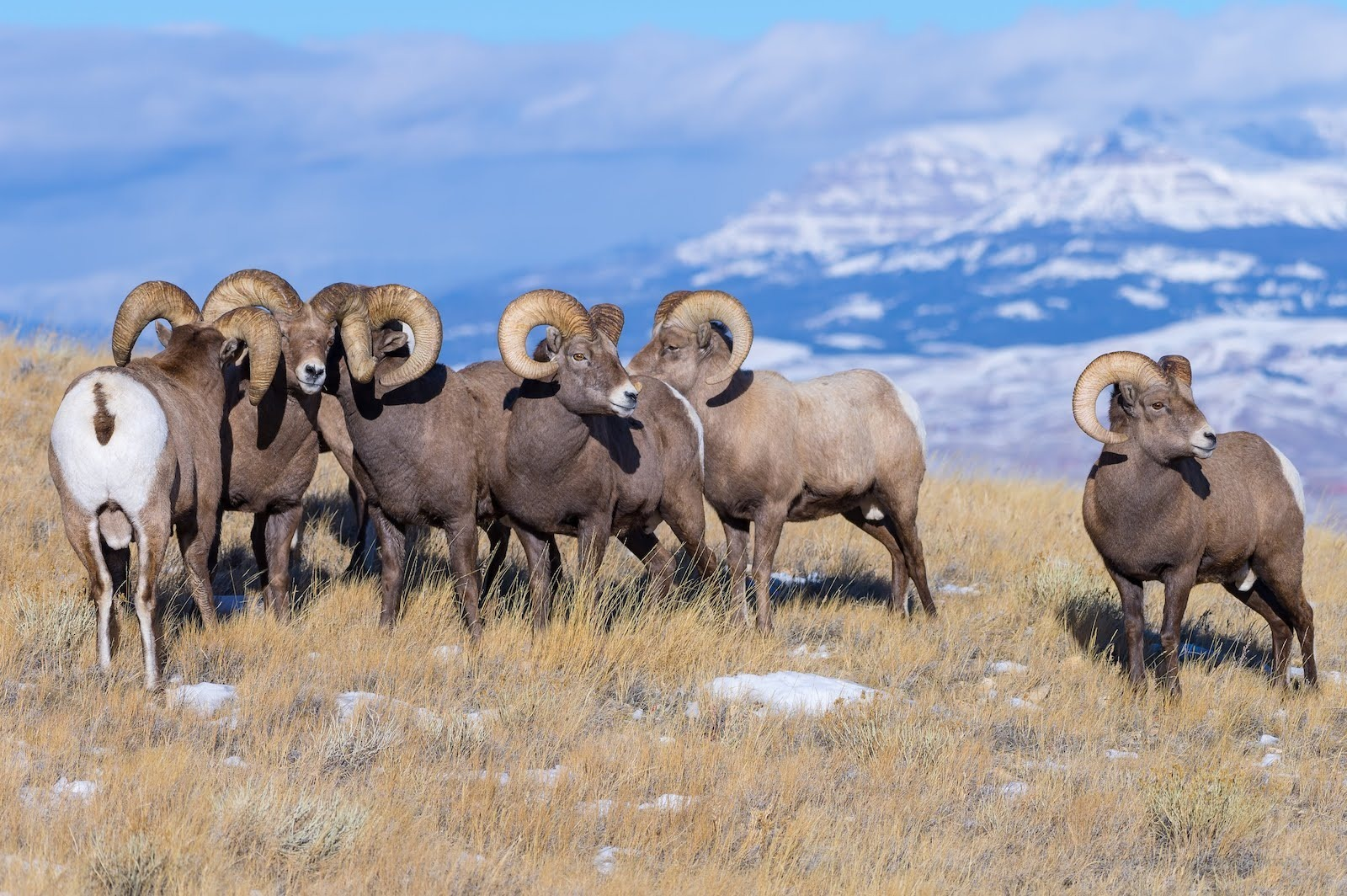 Bighorn Sheep near Dubois, Wyoming as part of the Yellowstone experience