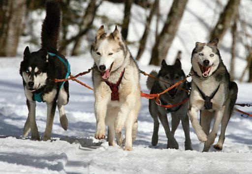 snow dog sled tours