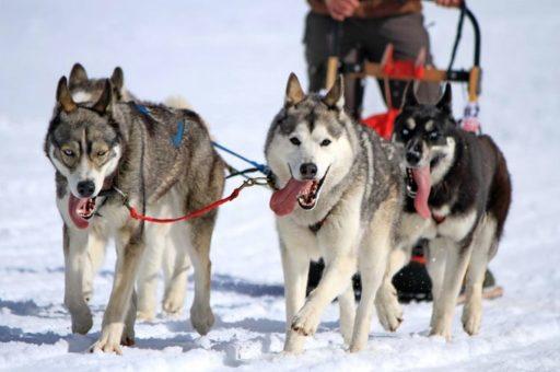 Snow dog sled