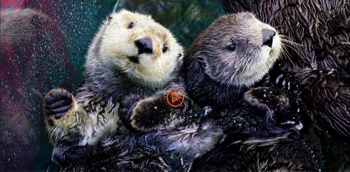 Sea otter cam for wildlife viewing online