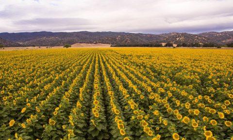 Sunflower Field in Yolo County, California