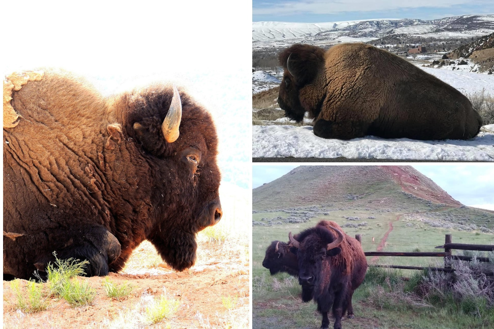 Three images of bison in Thermopolis, Hot Springs County, Wyoming