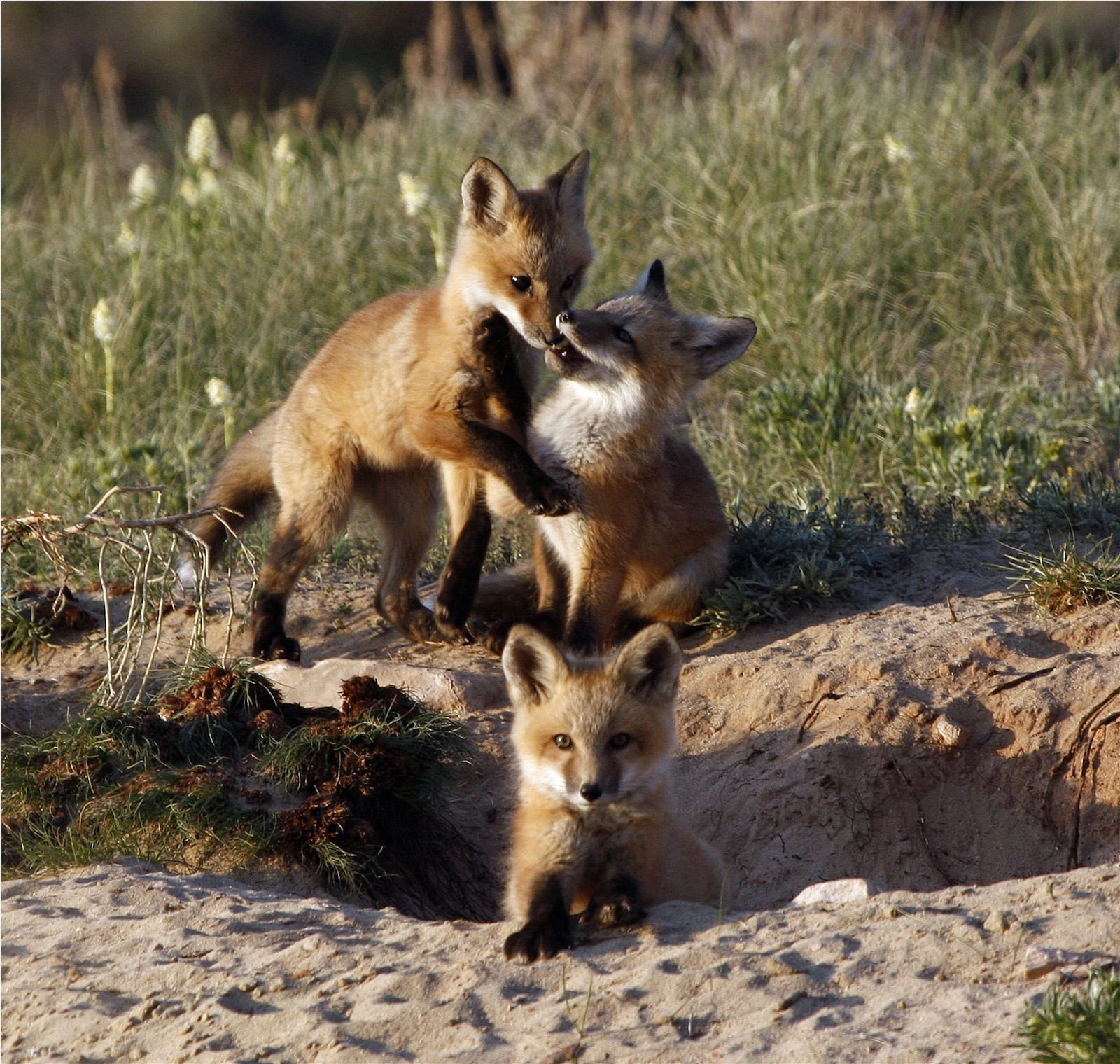 Three fox kits playing near their den in Carbon County, Wyoming